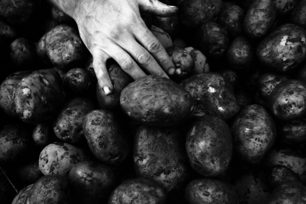 Jonathan Taggart, Sorting Blighted Potatoes after Rainfall, Whole Village, Ontario. 2008, Gelatin Silver print,   13 x 20 inches